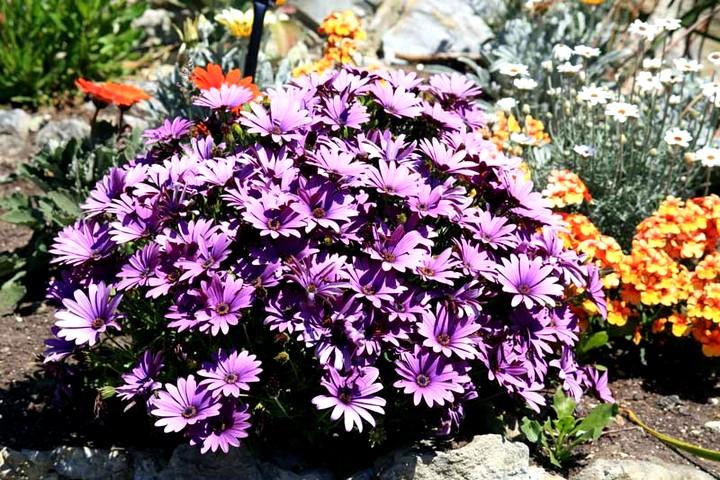 Остеоспермум цветы (6)