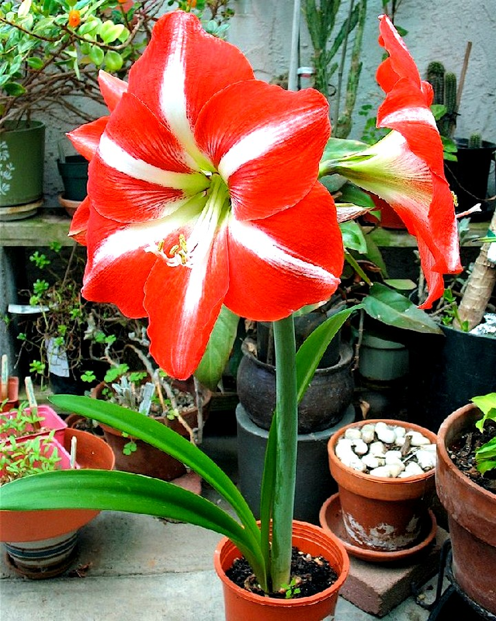 амариллис цветы