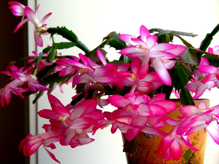 декабрист цветы (4)