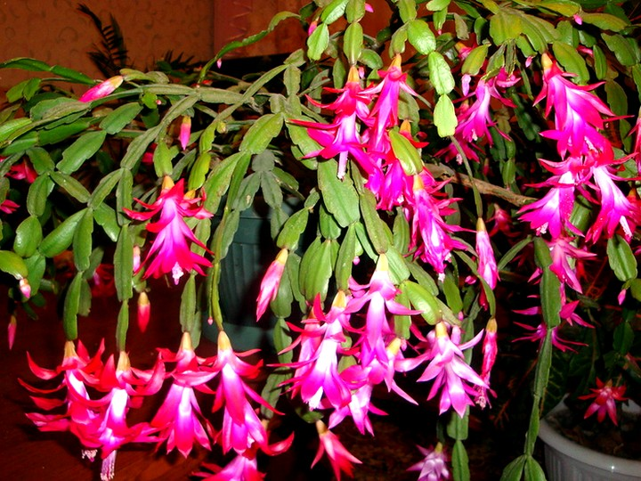 декабрист цветы (5)
