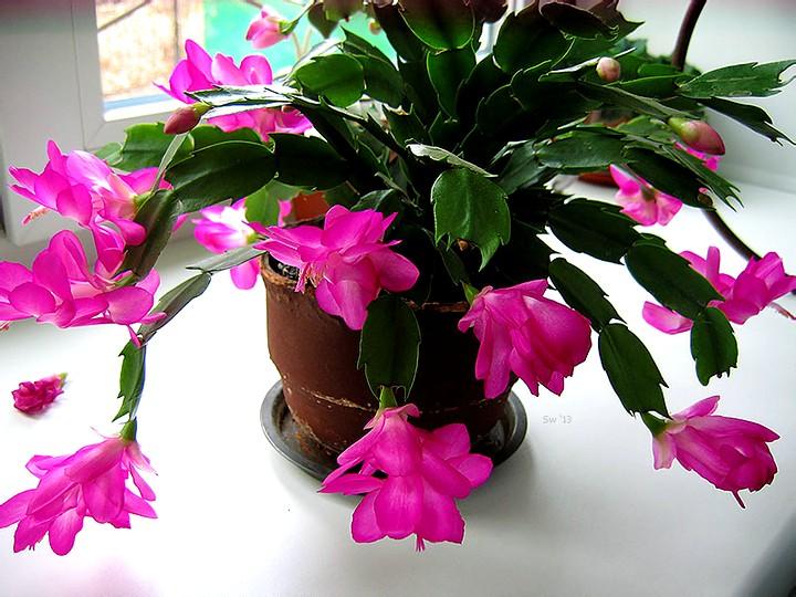декабрист цветы (7)