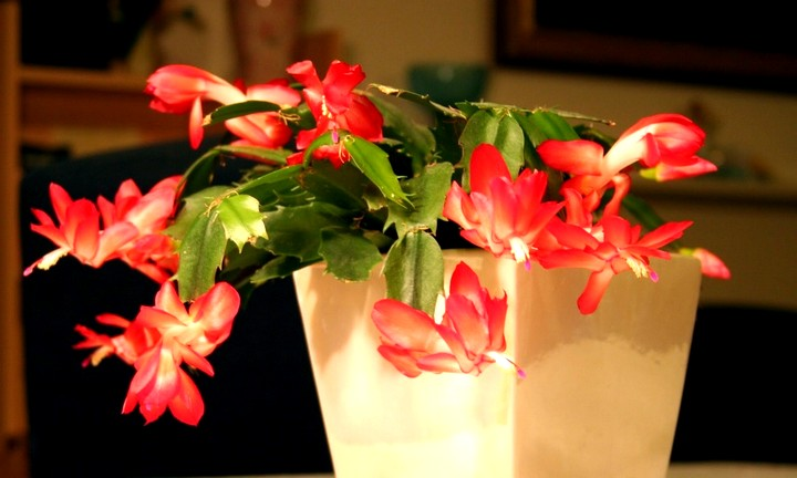 декабрист цветы