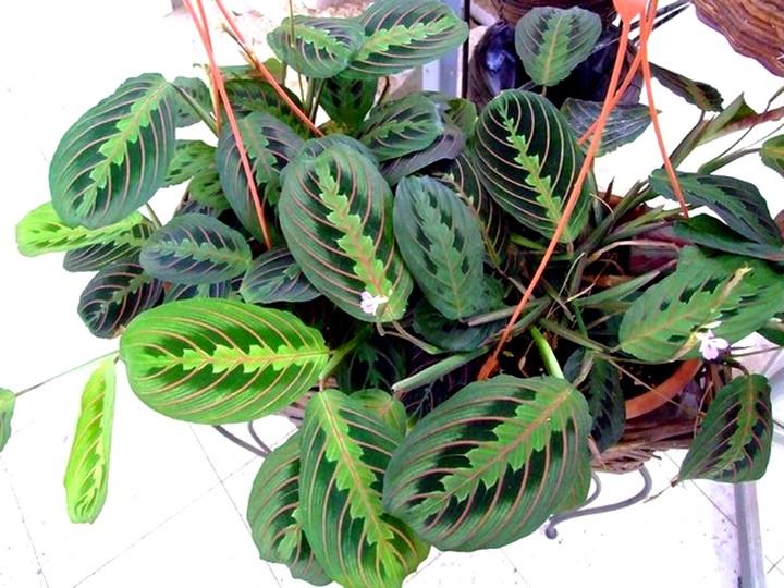 Маранта трех цветная молитвенное растение
