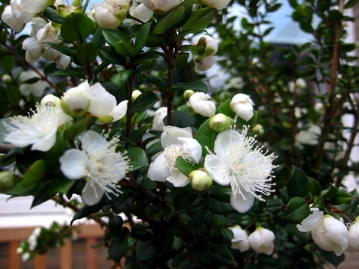 мирт цветы