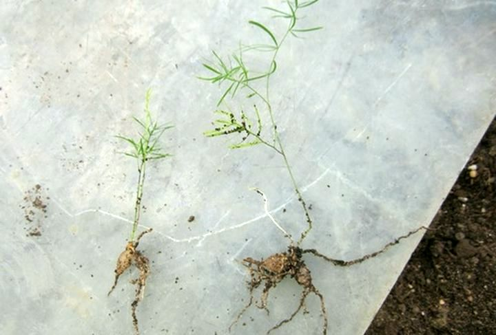 Размножение делением корня
