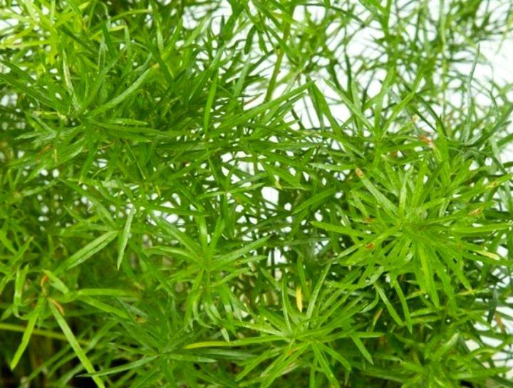 Пожелтение листьев аспарагуса