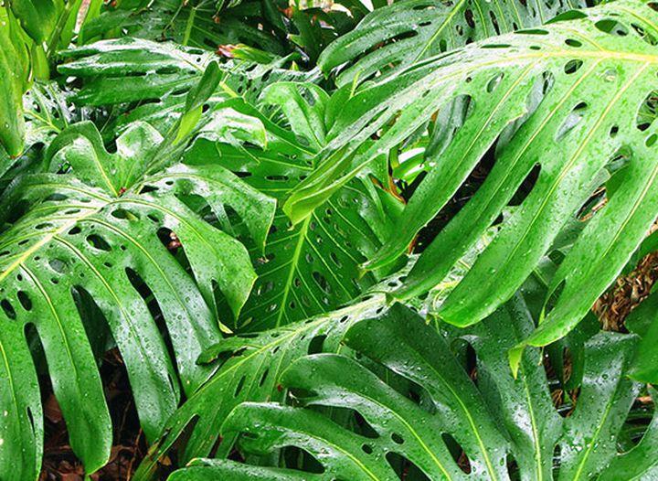 Шикарные листья монстеры