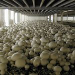 Фото 39: Выращивание шампиньонов в подвале