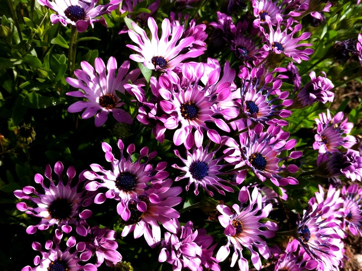 Osteospermum-blooming