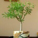 Фото 91: Деревце пеперомии феррейра