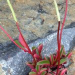 Фото 116: Цветение Peperomia graveolens