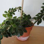 Фото 55: Пеперомия verticillata mutovchataya