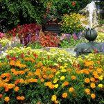 Фото 30: Бархатцы в саду