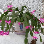 Фото 52: Рождественник зимой
