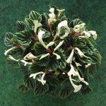 Фото 39: Цветение пеперомии лилиан