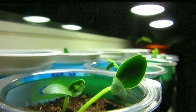 Использование фитолампы для выращивания огурцов дома