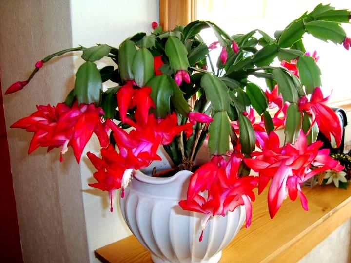 Декабрист цветы красный