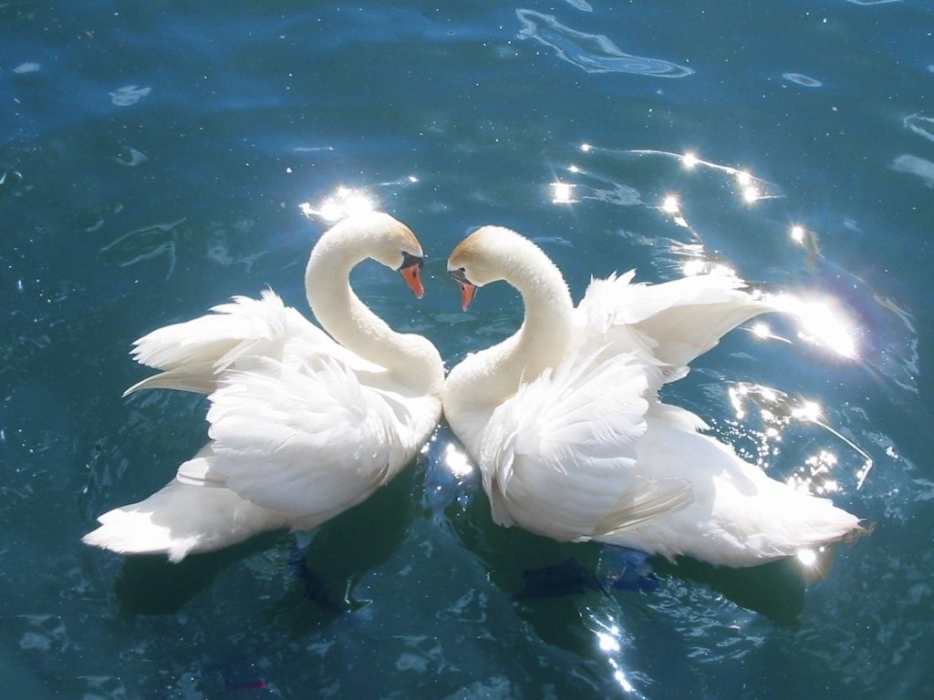 Лебеди, образующие сердце