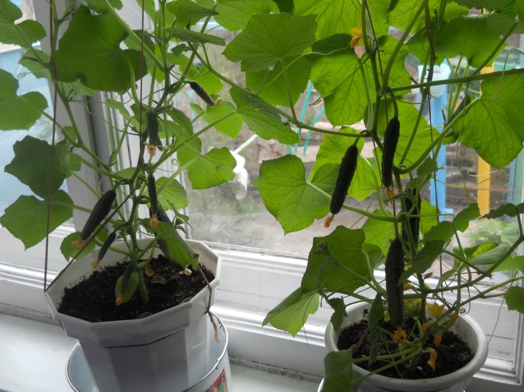 Выращивание огурцов на теплых подоконниках