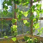 Фото 46: Украшениие и выращивание огурцов на балконе