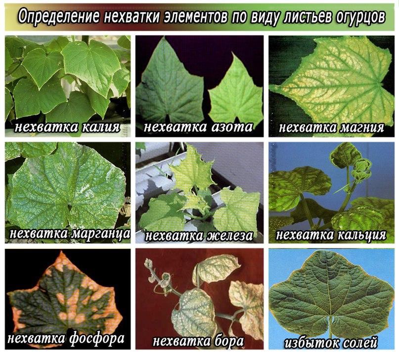 Определение нехватки элементов по листьям огурцов