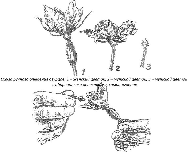 Ручное опыление цветов огурцов