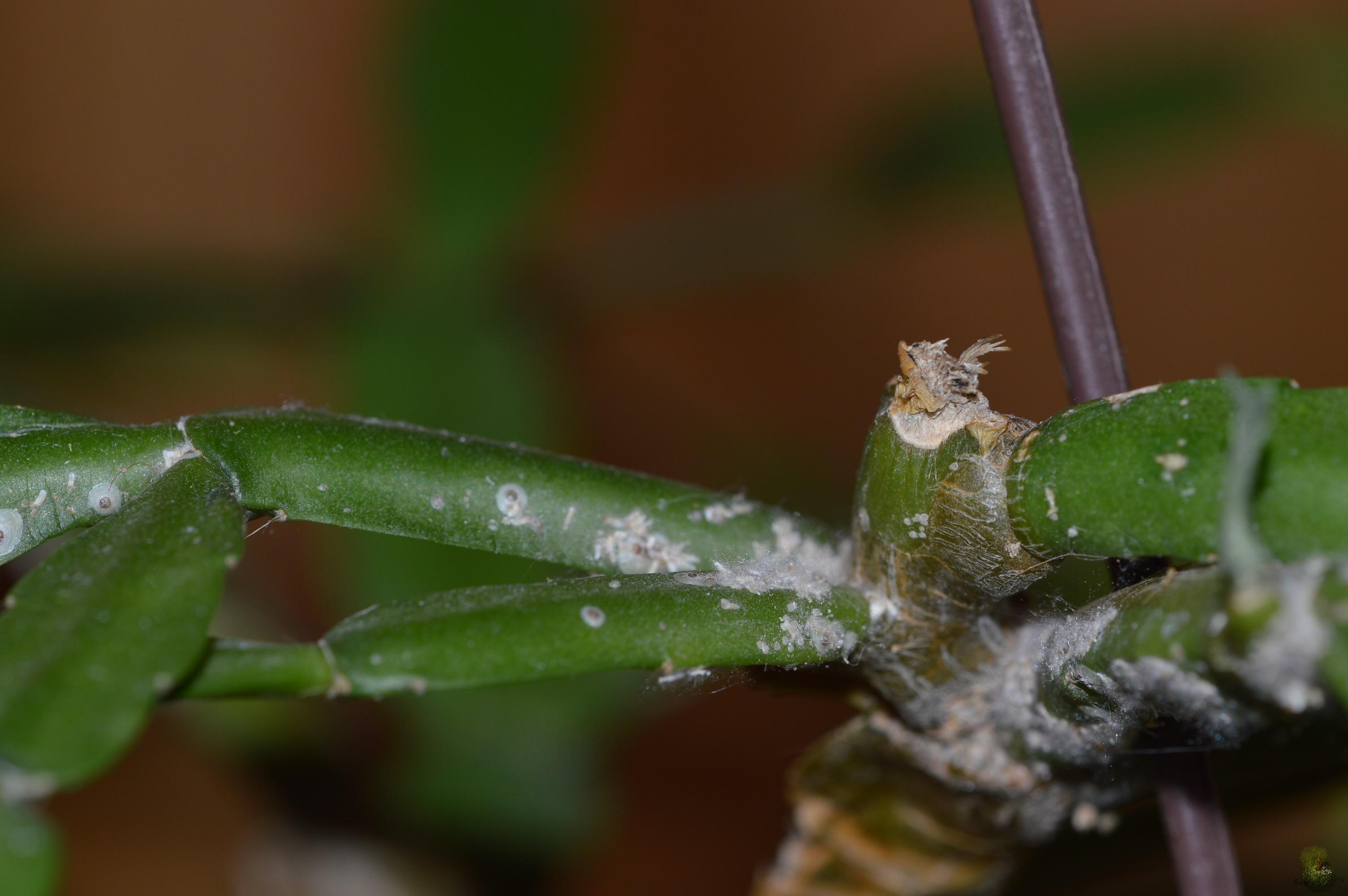 Паутинный клещ на декабристе