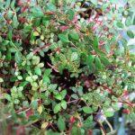Фото 51: Peperomia rotundifolia pilosior
