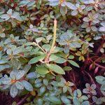 Фото 71: Peperomia rubella