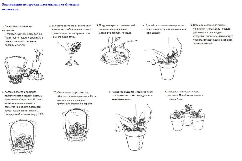 Размножение пеперомии листовыми черенками