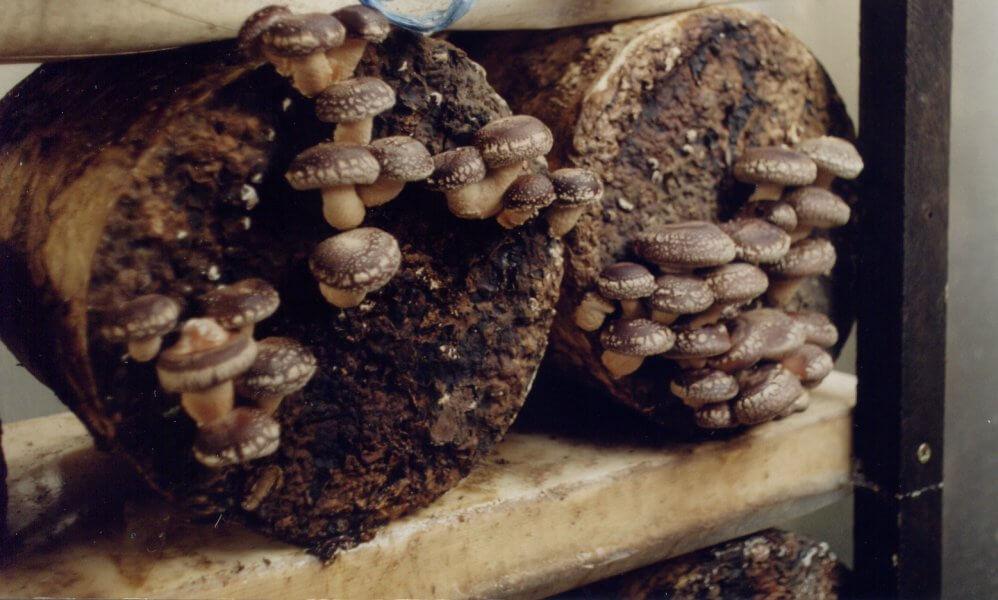 Гриб шиитаке выращивание в домашних условиях