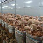 Выращивание шиитаке в мешках
