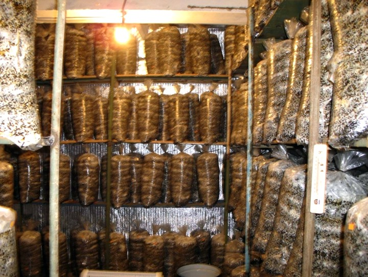 Как выращивание грибов на даче 939