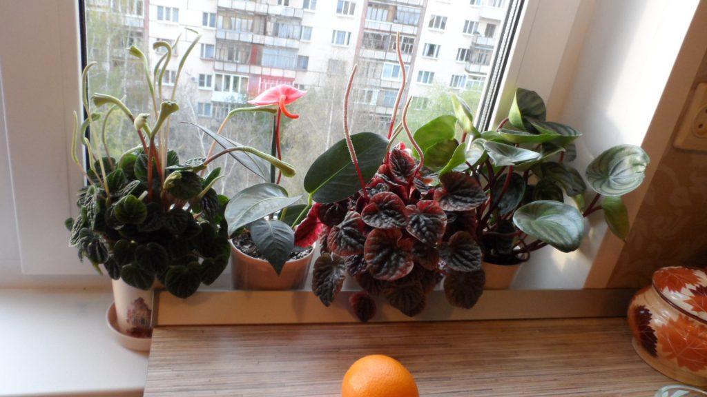 Комнатные цветы пеперомия фото и уход