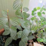 Фото 97: Появление новых листков у пеперомии ямчатой