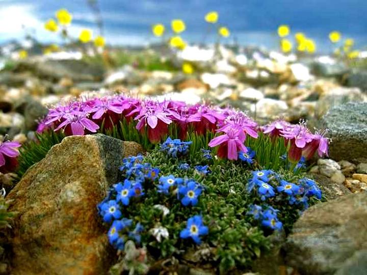 Травянистые растения для альпийской горки