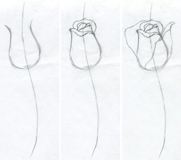 Общие очертания розы