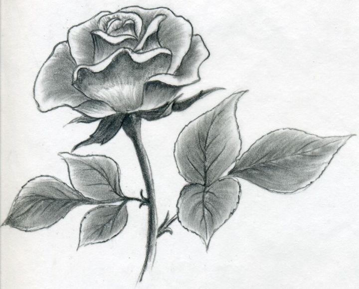 Выразительный рисунок розы