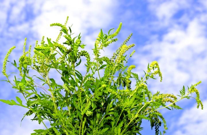 растение амброзия2