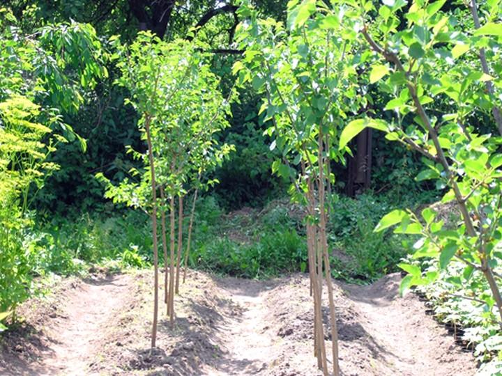 Выращивание шелковицы (5)