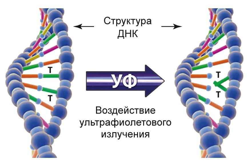 Воздействие ультрафиолета на структуру ДНК