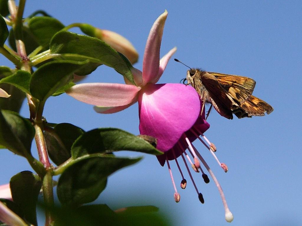 Бабочка на фуксии