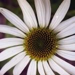 Фото 5: Белая рудбекия многолетняя