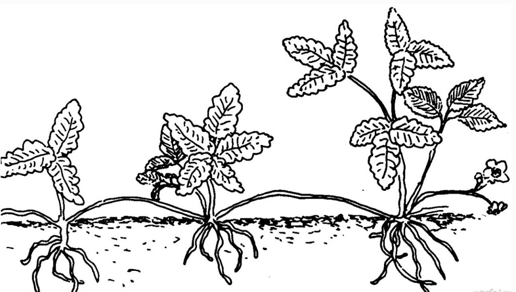 Вегетативное размножение шелковицы
