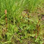 Фото 18: Весенние побеги хвоща полевого
