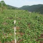 Выращивание актинидии на дачном участке