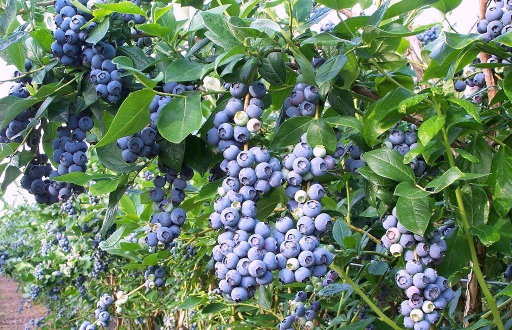 Выращивание садовой голубики