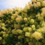 Фото 6: Выращивание скумпии