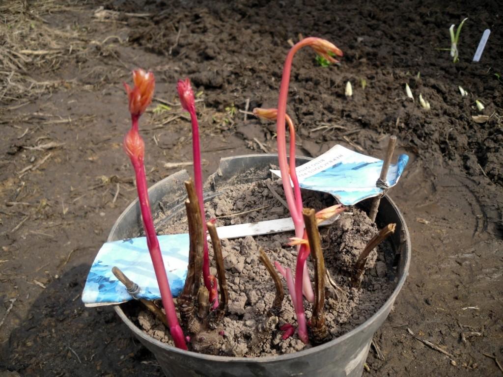 Когда сажают пионы осенью или весной 93