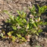 Фото 6: Высадка садовой голубики